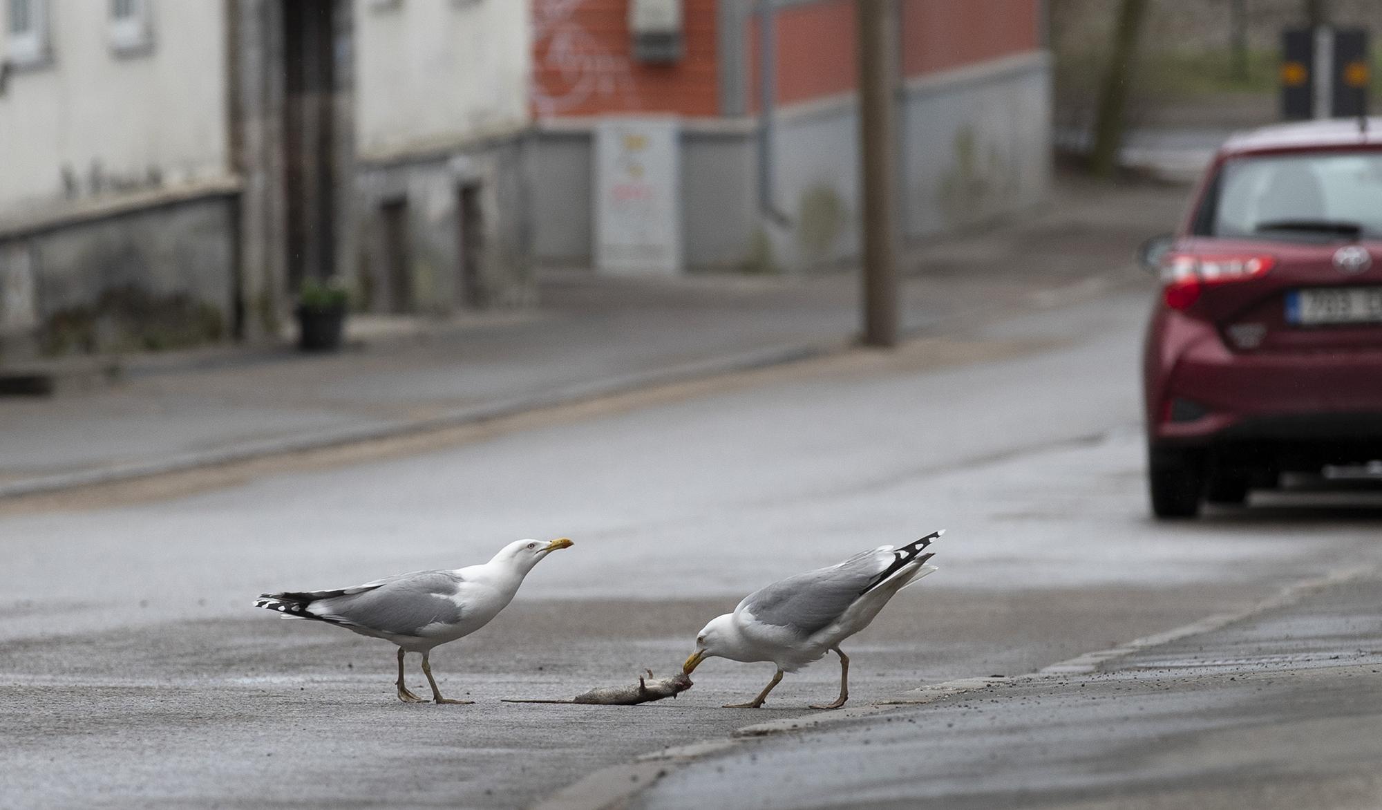 Kajakad maiustavad Talinna tänaval korjusega. Foto: Liis Treimann / Äripäev / Scanpix