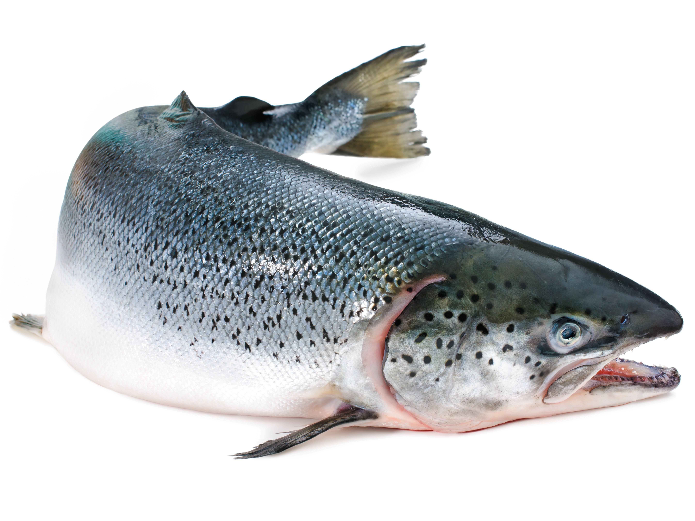 Lõhe ehk lõhi (Salmo salar). Foto: fjordfishmarket.com