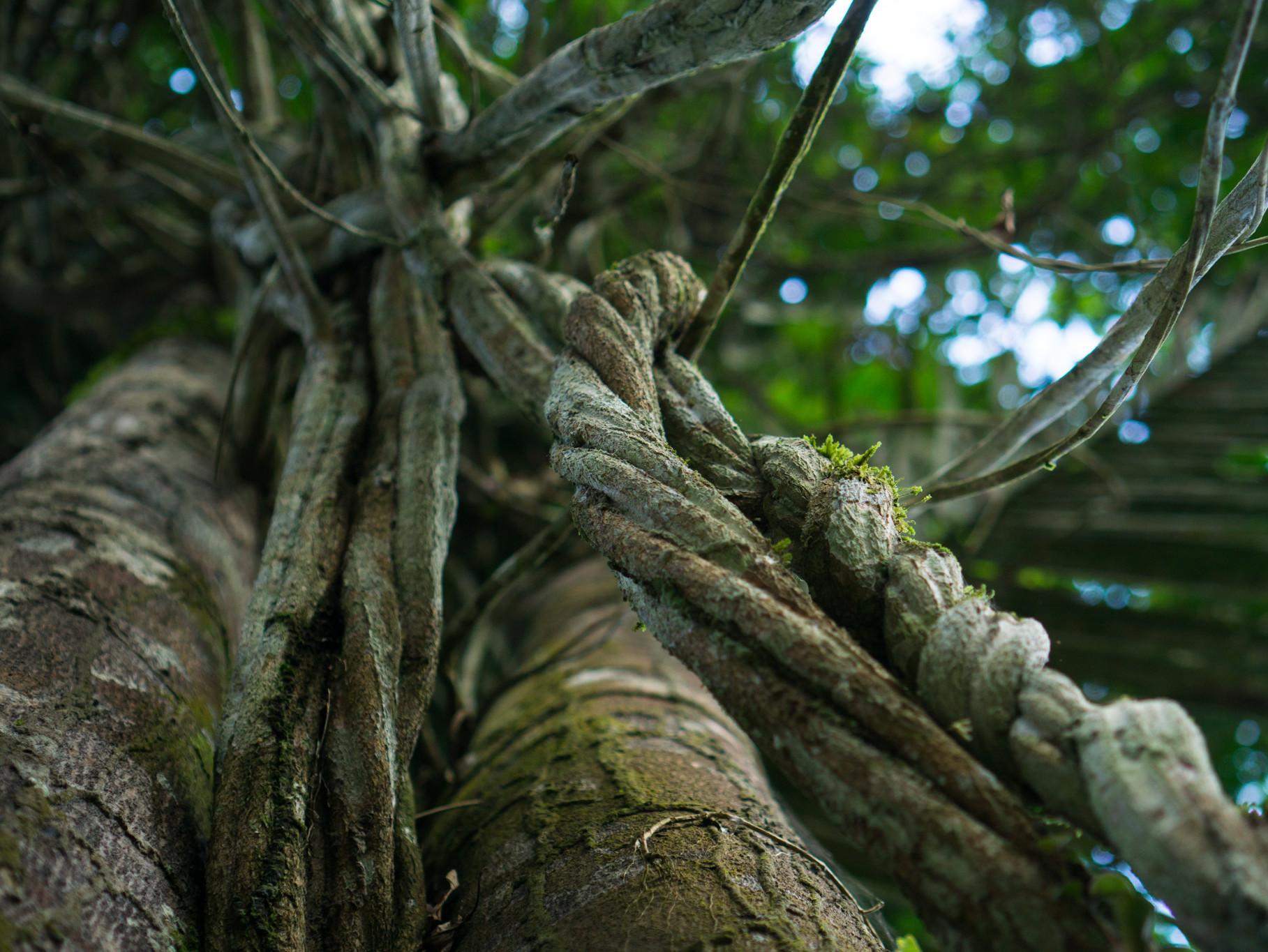 Amazonase kaapiväät on üks ayahuasca komponentidest. Foto: Terje Toomistu