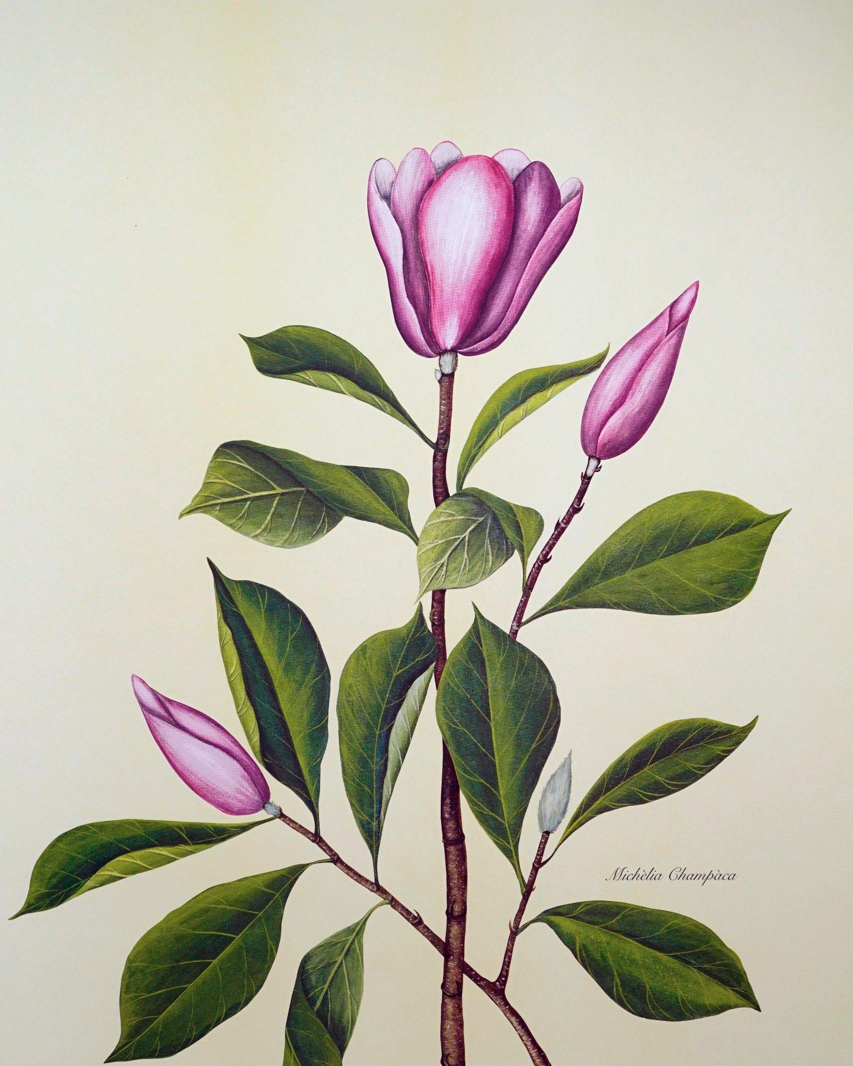 Emilie Rosalie Saal - Michelia Campaca, originaal ca 1910, uuesti trükitud 1995