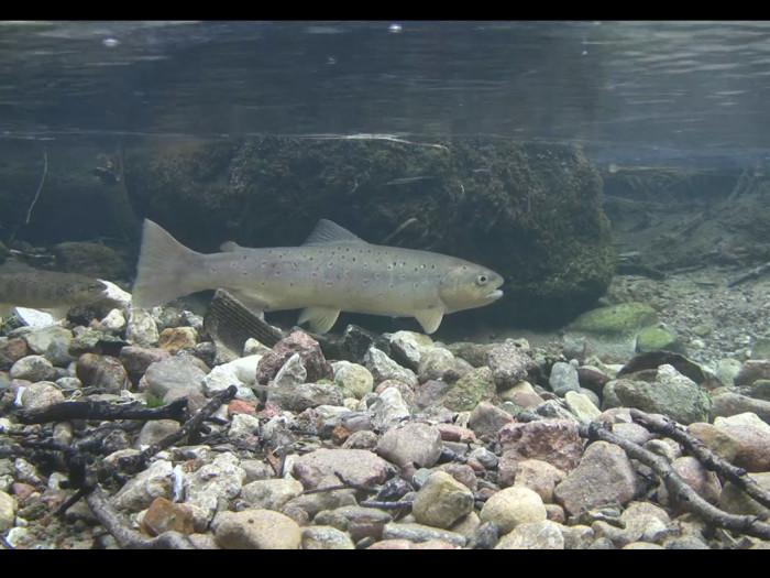 Vahepeal tuleb hoog maha võtta ja vaadata kasvõi omasoodu kulgevaid kalu. Kuvatõmmis Looduskalendri kalakaamerast