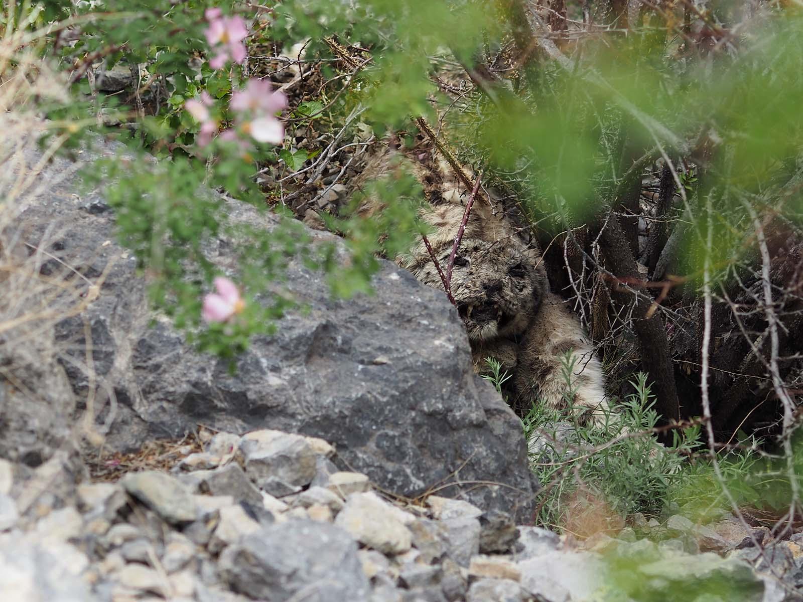 Lumeleopardi korjus, mis ilmselt viimase suurema vihmasajuga mägedest alla veerenud.