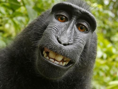 2011. aastal Indoneesias Sulawesi saarel varastas emane must makaak briti fotograafi David Slateri kaamera ja pildistas sellega ennast. Ahvi selfid läksid sotsiaalmeedias fotograafi nõusolekuta rändama, minnes talle väidetavalt maksma kümneid tuhandeid naelu. Kohus leidis, et kuna pildistamisnupule vajutas makaak, kuulub ka piltide autoriõigus talle. Ahvi seisukoht antud küsimuses ei ole teada.