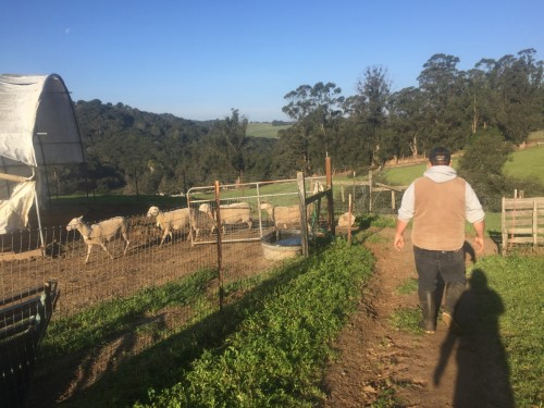 Octavio, mehhiklasest immigrant on USA põllumajandust teeninud juba neli aastat. Sel kargel hommikul järgnesin ma talle karjamaale, lauta ja sõnnikuhoidlasse. Octavio tegi kõik vajaliku, odavalt ja nurisemata. Foto: Heleene Tambet