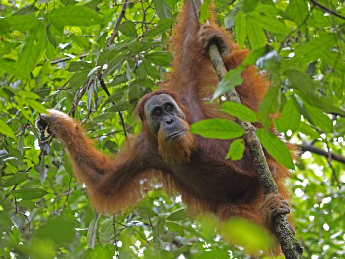 Sumatra orangutanide kodud on Indoneesias toimuva metsaraie tõttu hävinemas. Foto: Lip Kee (CC BY-SA 2.0)