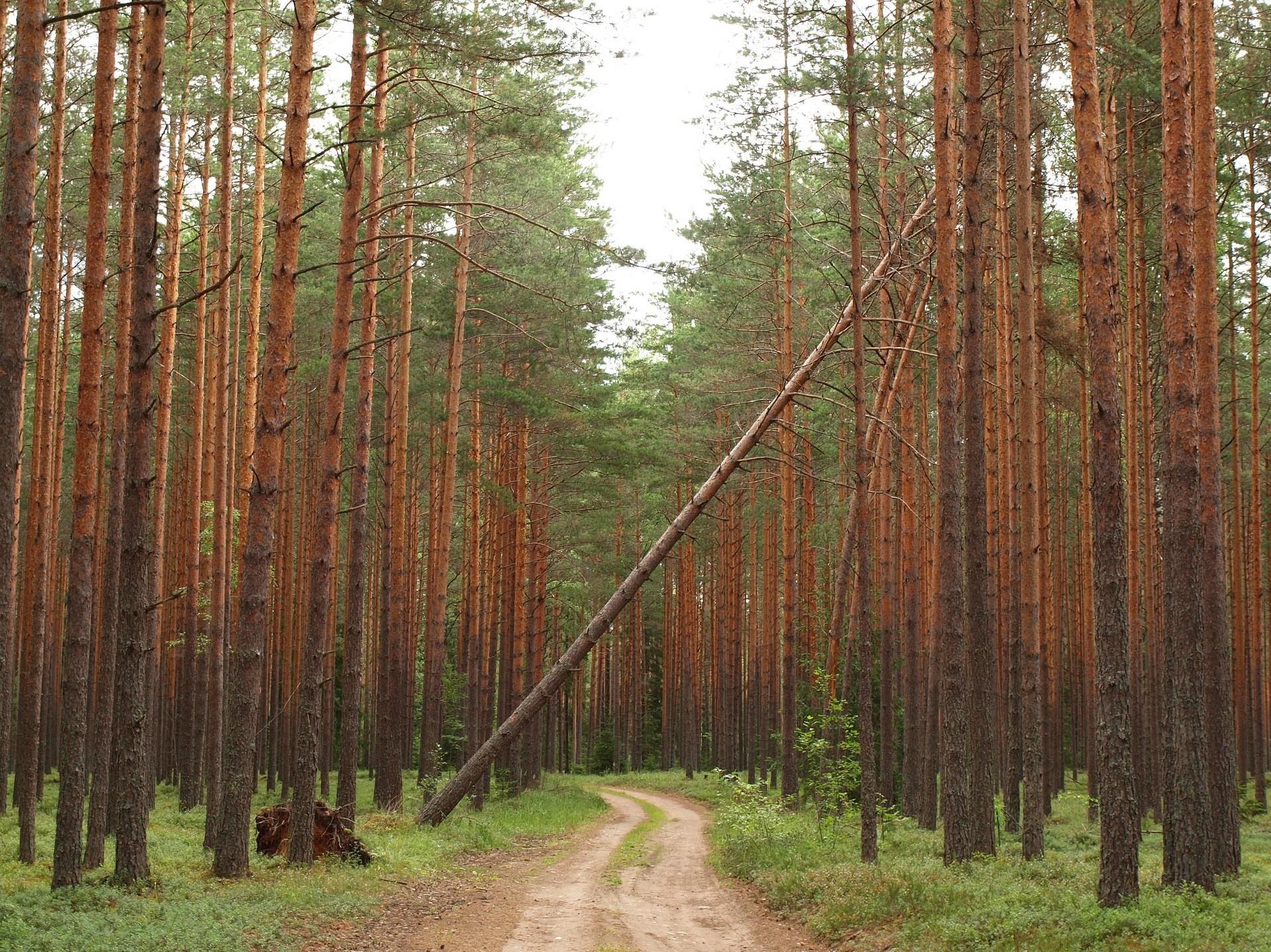 Kui praegu keskkonnaministeeriumis plaanitav metsaseaduse muudatus vastu võetakse, hakatakse Eestis senisest oluliselt rohkem metsa maha võtma. Foto: Flickri kasutaja Anita (CC by 2.0)