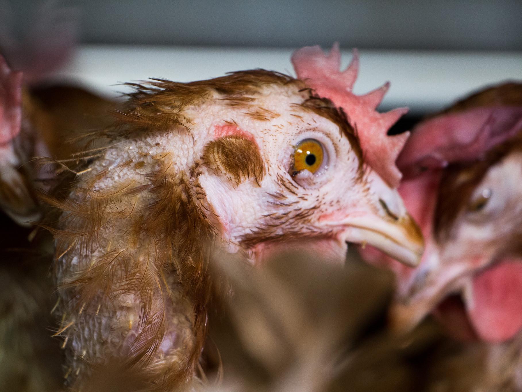 Kanad munafarmis. Foto: Dzīvnieku brīvība